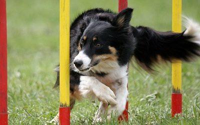 Il cane di agility: la conformazione